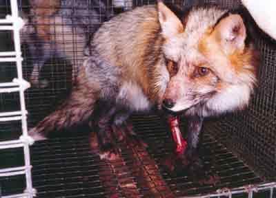 Avant d?être dépecés vivants, les animaux sont arrachés de leur cage et jetés au sol ; les ouvriers les matraquent avec des barres de fer et les projettent violemment sur des surfaces dures.