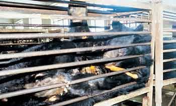 En Chine, 7000 ours à collier sont torturés dans des fermes pour prélever leur bile.