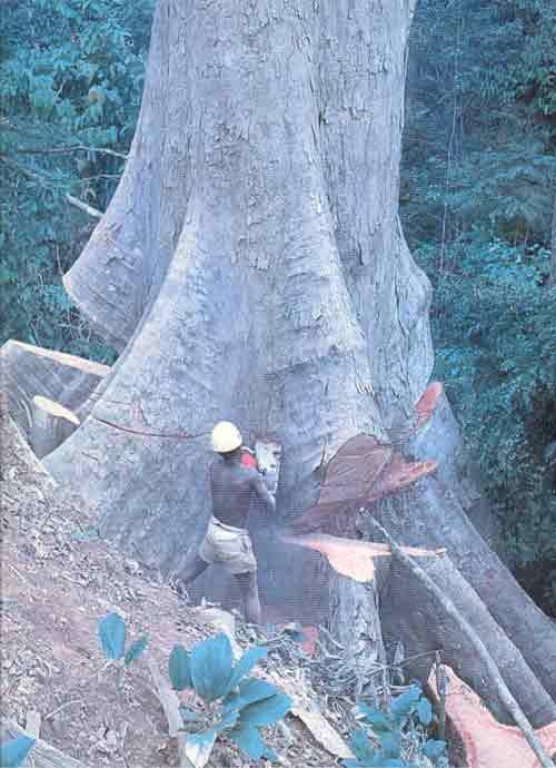 Des arbres centenaires sont abattus en seulement quelques minutes....