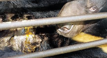Les ours sont enfermés à vie dans des cages où ils ne peuvent ni bouger, ni se coucher.