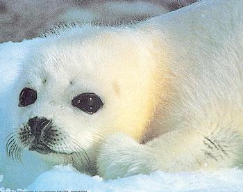 La chasse aux phoques au Canada est le plus important et le plus cruel massacre de mammifères marins dans le monde.