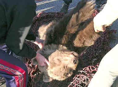 L'ourse cannelle, abattue par un chasseur