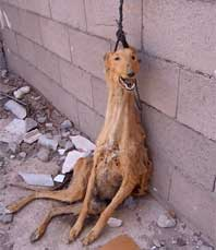 http://planete-dechet.wifeo.com/images/caza-galgos-2.jpg