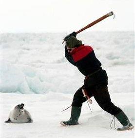 Les phoques sont tués à coups de gourdin ainsi qu?au fusil.