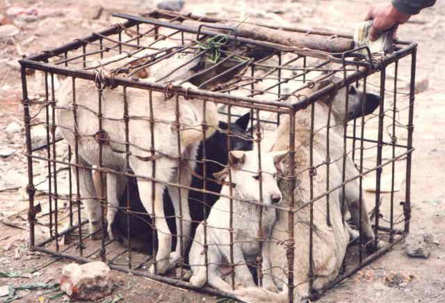En chine comme en corée, le chien n'a pas le staut d'animal de compagnie, mais plutôt celui d'animal de boucherie.