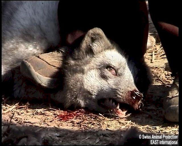 Les ouvriers font pression avec leurs pieds sur le cou et la tête des animaux qui luttent avec trop d?acharnement, pour que l?entaille soit franche.
