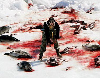 42% des phoques se font dépouiller de leur peau alors qu?ils sont probablement conscients.