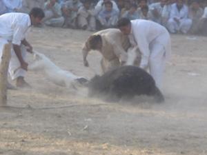 Les ours devenus des proies sans défense sont livrés à des chiens dressés pour le combat…